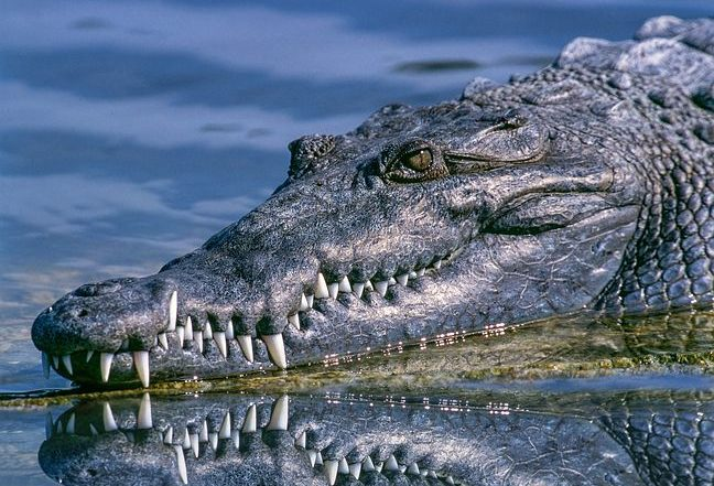 Aligator showing teeth demonstrating the benefits of good oral health
